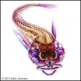 A cleared and stained scalyhead sculpin, Artedius harringtoni, by Adam Summers.