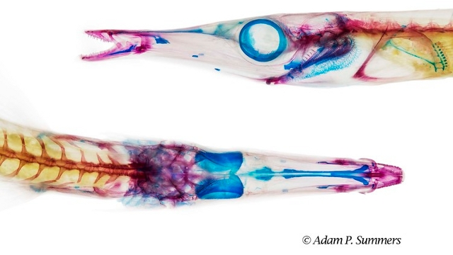 A cleared and stained tube-snout, Aulorhynchus flavidus, by Adam Summers.