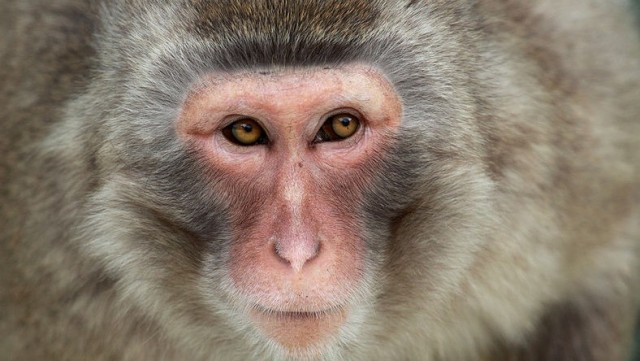 We are now entering an era where we can cleanly and predictably change the DNA of primates. Alfonsopazphoto / Wikimedia Commons