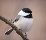 Adorable Blackcapped Chickadees might make your report.  Photo by Carol Poulos, courtesy of the Great Backyard Bird Count.