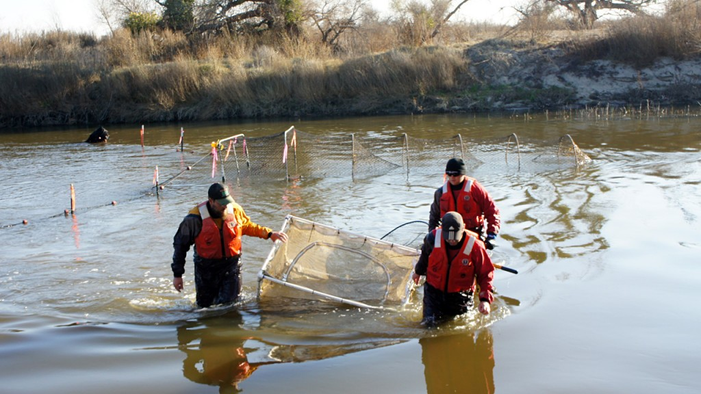 A restoration team brings in a Chinook salmon caught in the lower reaches of the river. (Lauren Sommer/KQED)
