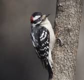 Are Downy Woodpeckers visiting your yard?  Help track where they're found.  Photo by Charlie Prince, courtesy of the Great Backyard Bird Count.