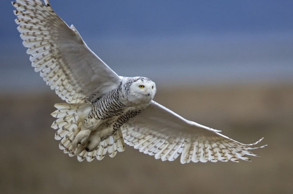 Participants will help discover if last year's huge increase in Snowy Owl numbers is continuing.  Photo by Diane McAllister, courtesy of the Great Backyard Bird Count.