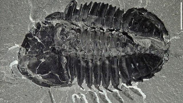 Burgess-type trilobite