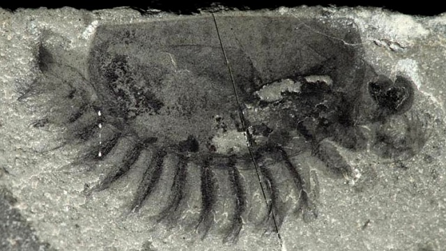 Isoxyid fossil