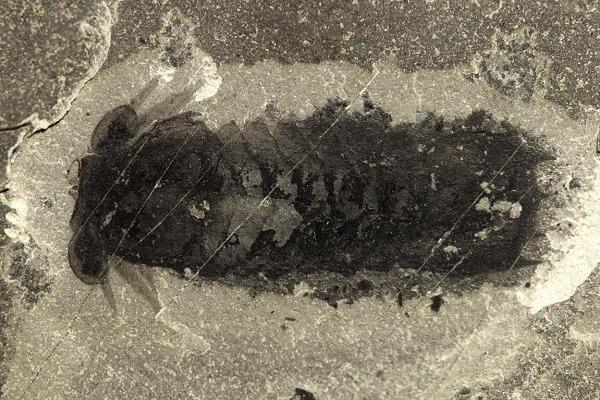 Mollisonia symmetra
