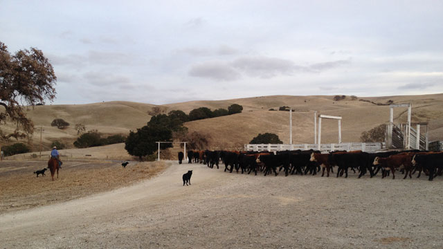 Joe Morris, owner of Morris Grassfed in San Juan Bautista, herds cattle up a hill in Hollister. (Vinnee Tong/KQED)