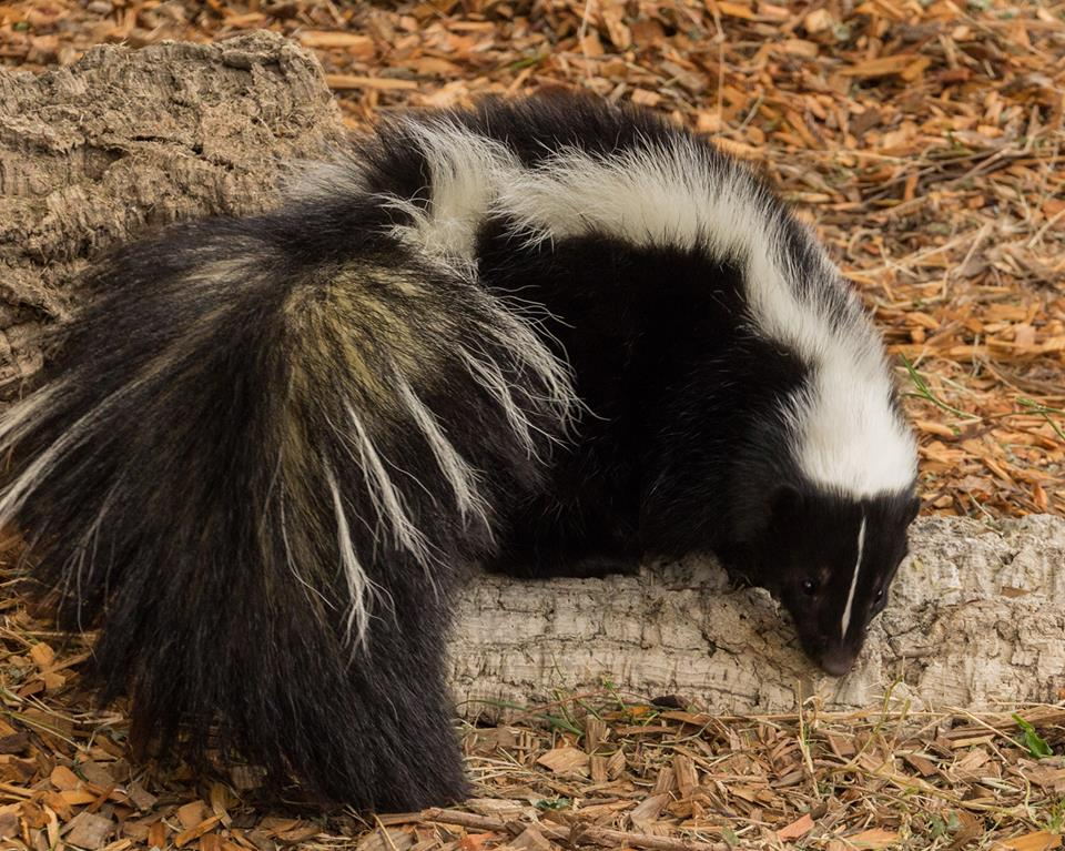 Striped skunks are found across North America. February is a particularly smelly month because skunks spray to communicate during breeding season. Photo / CuriOdyssey at Coyote Point