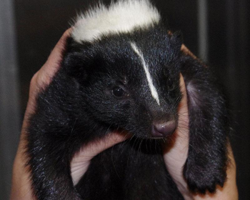 "Meet a skunk up close at CuriOdyssey at Coyote Point in San Mateo.  ""Oliver"" is a rehabilitated, non-releaseable skunk that is used for educational programs.  You won't need to pinch your nose around him; Oliver had his scent glands removed. Photo courtesy of CuriOdyssey at Coyote Point"