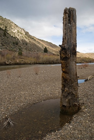 Growth rings in tree stumps, like this one in the Walker River, yield valuable drought data from the past. This one dates from the Medieval Warm Period. (Donald J. DePaolo)