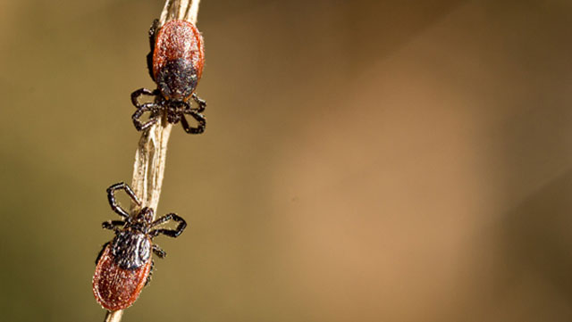 Western black-legged ticks can carry the bacteria that cause Lyme disease and other pathogens. (Ervic Aquino/Stanford)