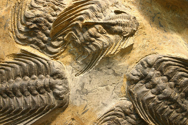 Trilobites went extinct in the mass extinction at the end of the Permian. (Kevin Walsh/Flickr)