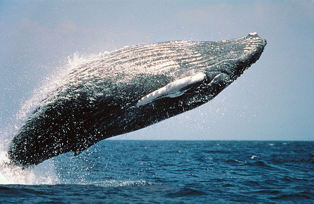 Known for their acrobatics, breaching humpbacks are impressive. Wanetta Ayers/Wikimedia Commons.
