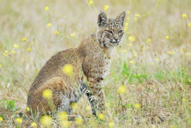 A bobcat. (Jessica Weinberg/Golden Gate National Parks Conservancy)