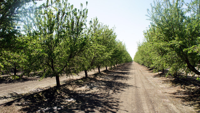 Almond orchards north of Bakersfield, where fracking has lead to an expansion of oil drilling. (Lauren Sommer/KQED)