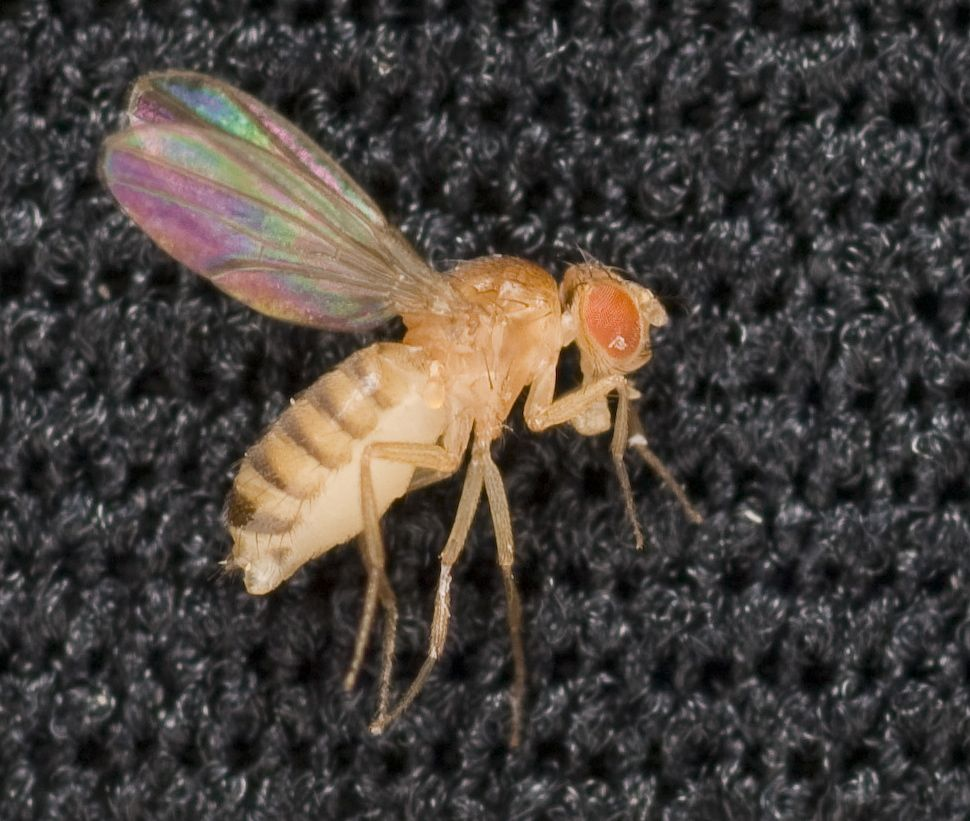 A single drosophila, or fruit fly. (Dominic Hart/NASA)