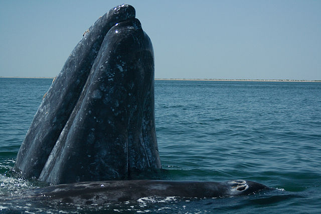 Gray whales calve in the warm waters off Baja California then a few months later begin their 5,000 mile migration to Arctic feeding grounds. (Image: José Eugenio Gómez Rodríguez/Wikimedia)