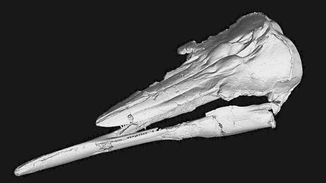 Skimmer porpoise jaw