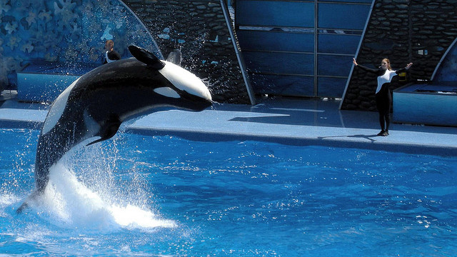 An orca at SeaWorld's park in Orlando, Florida, jumps out of the water. There are currently 10 orcas living in captivity in California, according to Assemblyman Richard Bloom's office. (Milan Boers/Flickr)