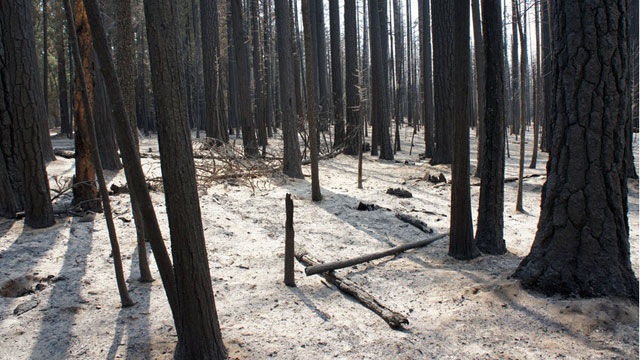 The forest after the Rim Fire, just outside of Yosemite National Park. (Lauren Sommer/KQED)