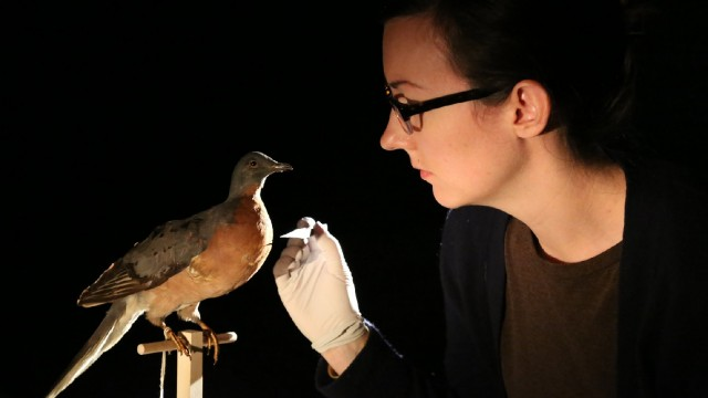 Alicia Goode from the Oakland Museum of California primps a taxidermied passenger pigeon. (Arwen Curry/KQED)