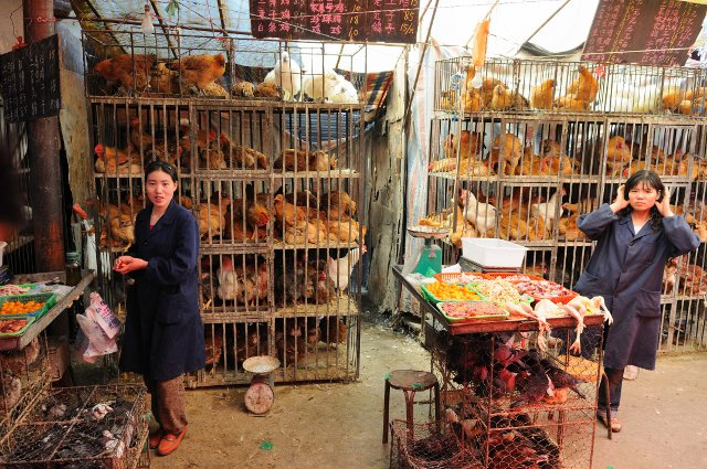 Right now you can only get bird flu in places like this chicken market.  Five small changes in the bird flu's genetic material can change that so you can catch it from another person. (Wikimedia Commons/M M (Padmanaba01))