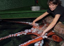 An aquarist interacts with a giant Pacific octopus