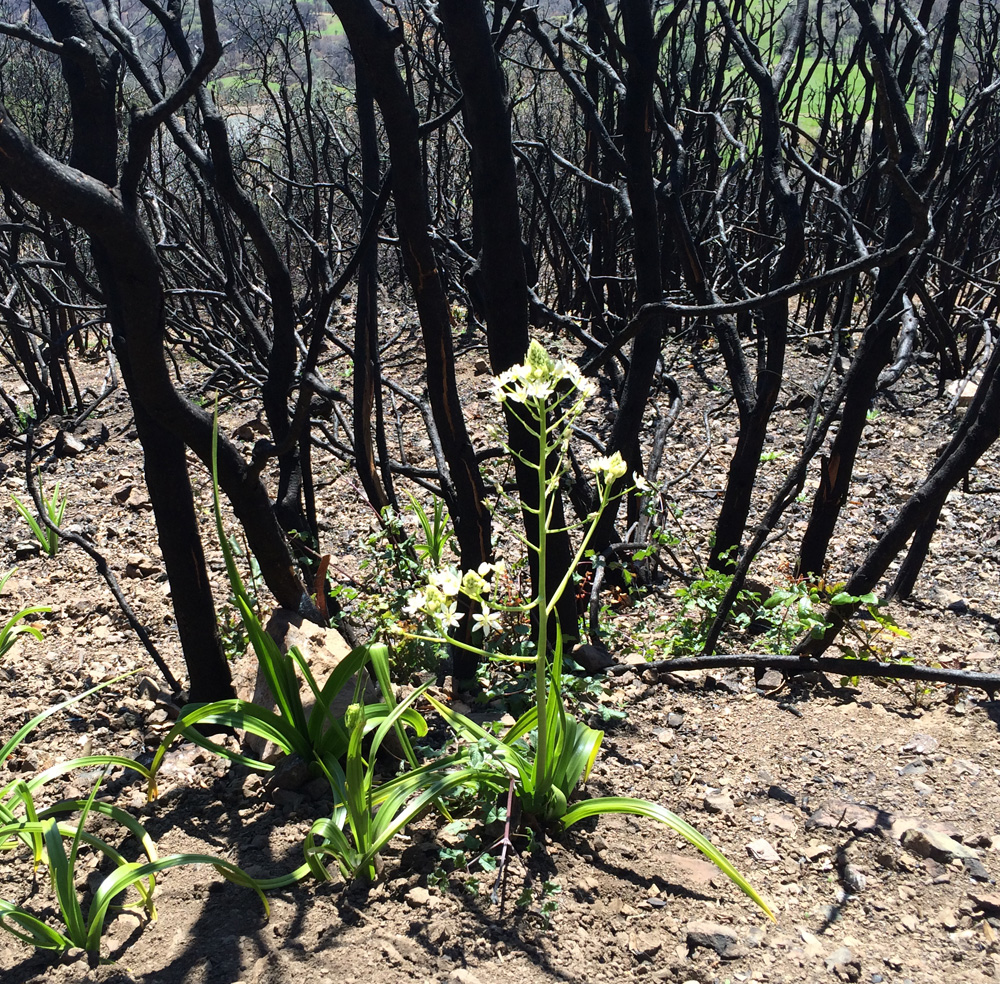 Plants emerge in the remnants of the Morgan Fire. (Lauren Sommer/KQED)