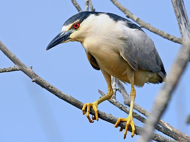 Spectacular Black-crowned Night-herons are year round residents in the Bay Area. (Mike Baird/Wikimedia)