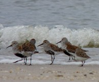 For a brief few weeks, we get to see shorebirds like these Dunlin in their breeding plumage rather than their drab winter wear. (John Beetham/Wikimedia)