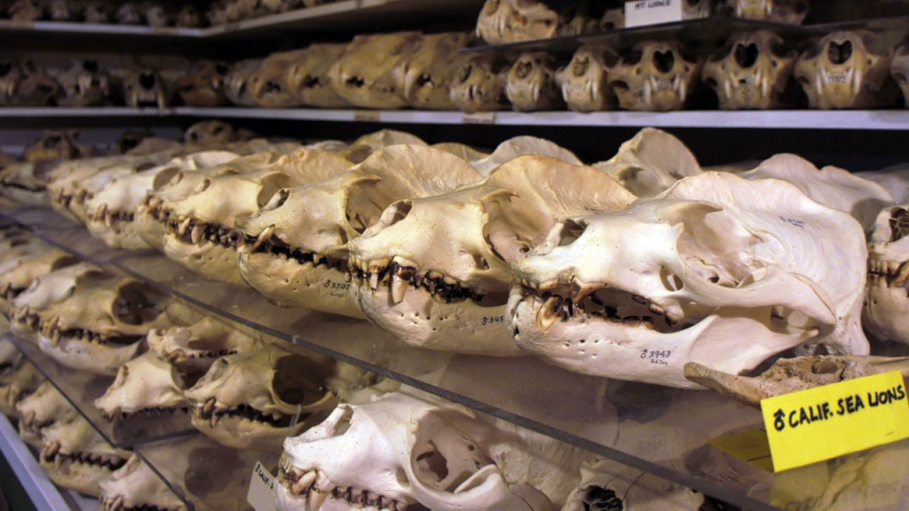 Ray Bandar's collection of almost 2,000 California sea lion skulls is the largest in the world. (Lauren Sommer/KQED)
