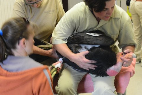 Oakland Zoo Keeper Kristin Mealiffe holds the condor while Dr. Andrea Goodnight examines her. (Photo: Oakland Zoo)