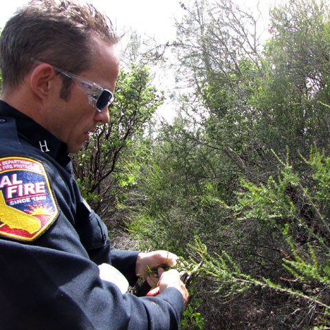 Tom Knecht of CalFire collects chemise to find its fuel moisture. (Molly Samuel/KQED)