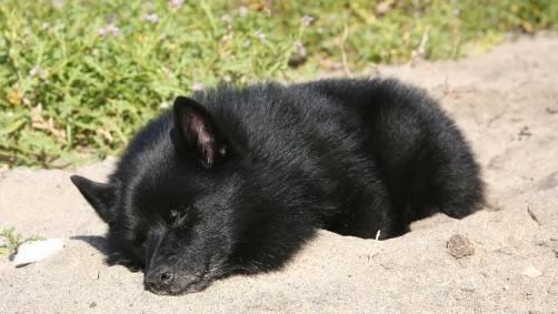 Stanford Sleep Researcher Mourns the Loss of Narcoleptic Dog