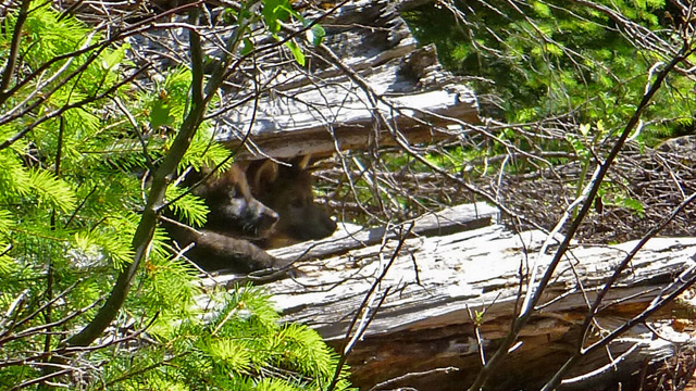 Wildlife officials confirm that OR7, a wolf that has visited California, has had two pups in southwest Oregon. (U.S. Fish and Wildlife Service)
