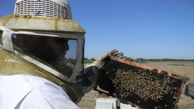 A beekeeper for Bradshaw Honey Farm wears protective clothing to check the health of the bees.  The bees don't have enough wildflowers to make honey. Instead, owner David Bradshaw is just trying to keep his bees alive.