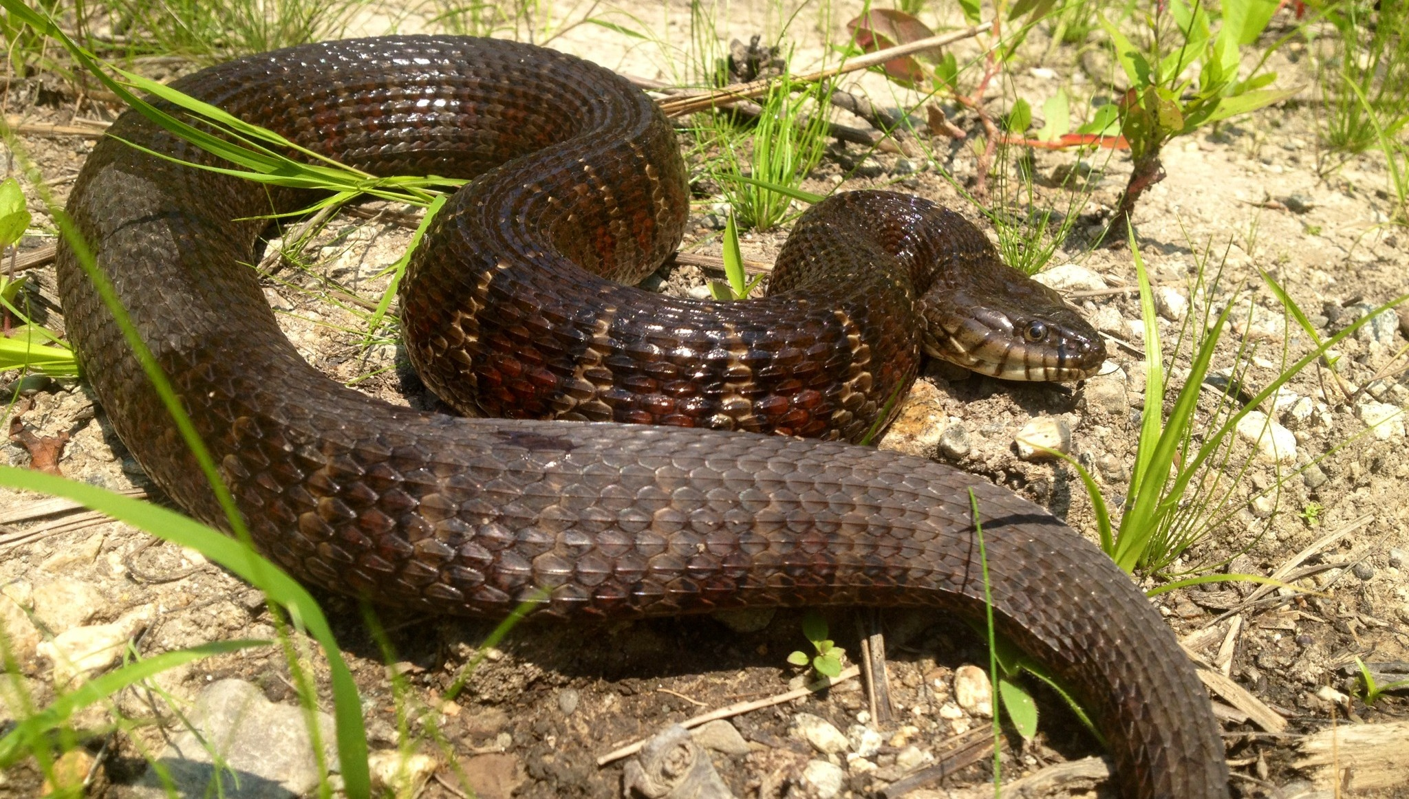 The common water snake and southern water snake are characterized by dark cross bands, which the native garter snake lacks. (OJ Miano/UC Davis)