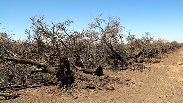 An almond orchard that's been uprooted due to drought near Los Banos, California. (Lindsey Hoshaw/KQED)