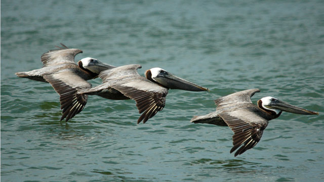 Brown pelican populations rebounded after DDT was phased out. (MSMcCarthy Photography/Flickr)