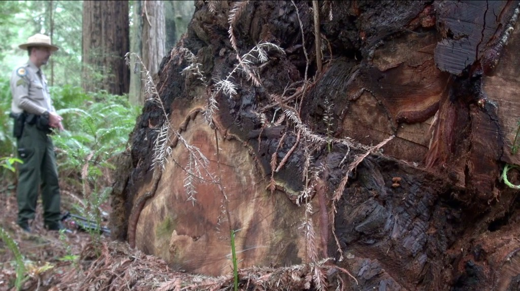 Poachers have chopped the burl from the base of this redwood. (Sally Schilling/KQED)
