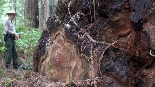 Why Poachers Are Raiding the Redwoods in Humboldt County