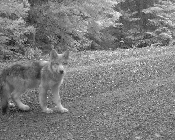 California's Wandering Wolf Now Has Puppies in Oregon