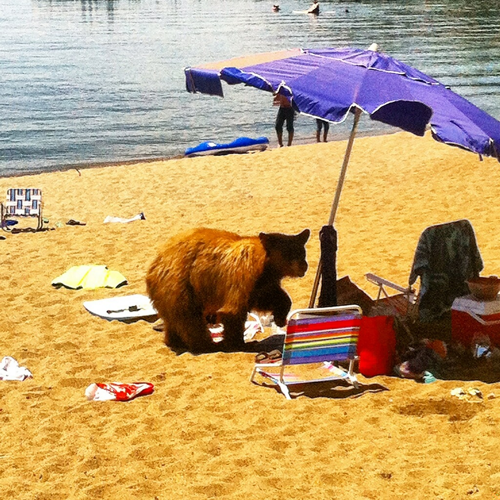 The drought is driving hungry bears like this one out of the woods and down to Lake Tahoe. (Courtesy of Nevada Department of Wildlife)