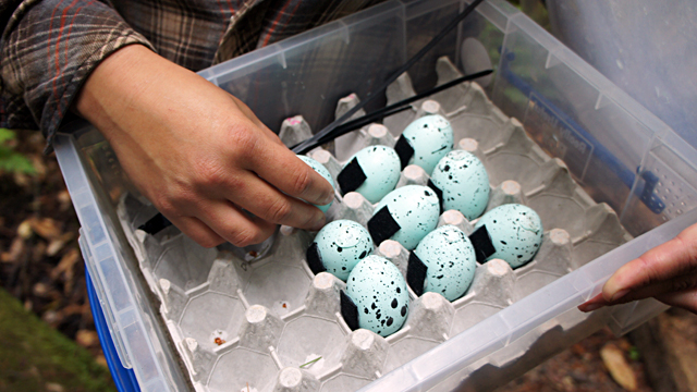 Fake marbled murrelet eggs being put out by a California State Parks field team. (Lauren Sommer/KQED)
