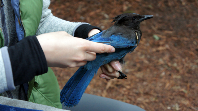 Elena West measured the wing of a captured Steller's jay at Butano State Park. (Lauren Sommer/KQED)