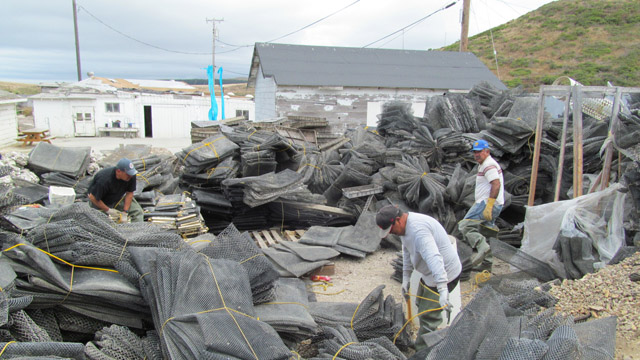Workers at Drakes Bay Oyster Farm pile up oyster grow bags for storage. (Cy Musiker/KQED)