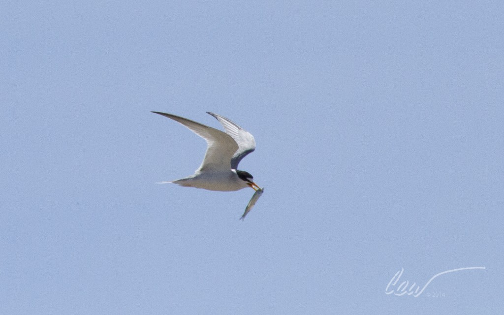 Adult least tern fish in nearby waters and return to feed their mates or young chicks.  (Cal Walters)