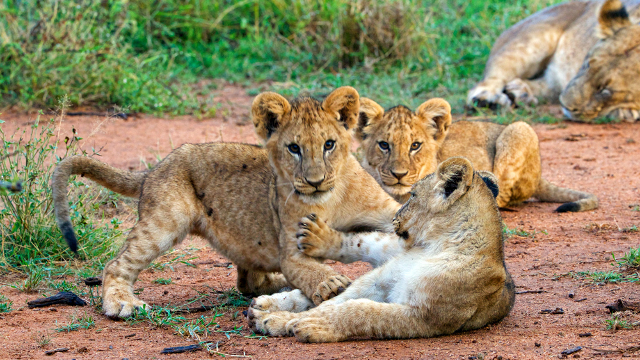 behavior of lion cubs in the wild