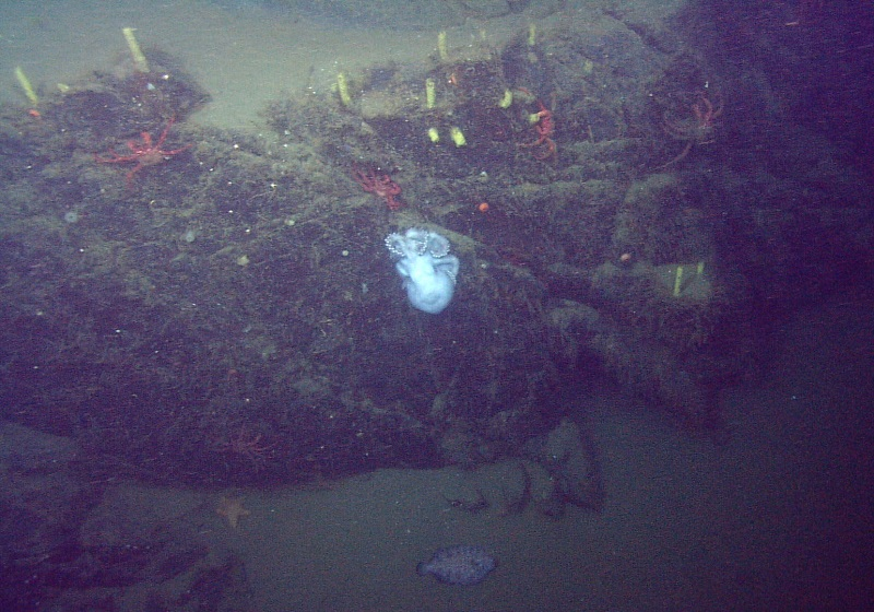 During her 53-month brooding period, the mother continually kept her eggs free from silt and protected them from predators. (Courtesy MBARI © 2009)