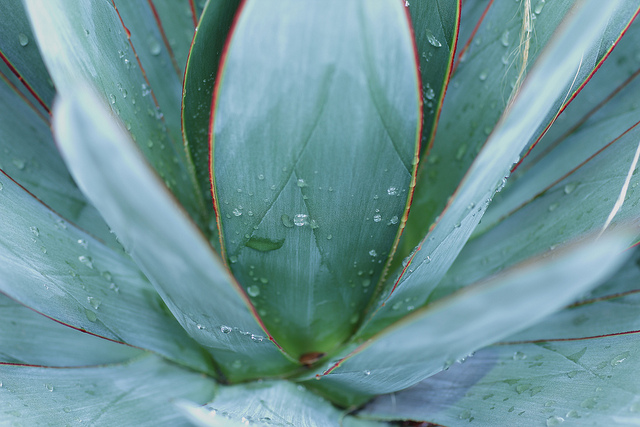 The waxy surface on the agave helps it retain water. (John Loo/Flickr)